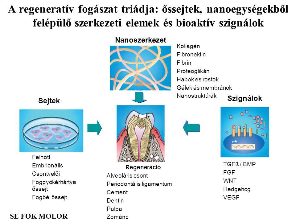 A regeneratív fogászat triádja: őssejtek, nanoegységekből felépülő szerkezeti elemek és bioaktív szignálok SE FOK MOLOR Regeneráció Alveoláris csont P