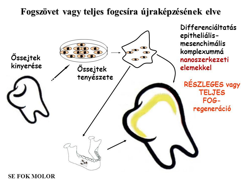 RÉSZLEGES vagy TELJES FOG- regeneráció Őssejtek tenyészete Őssejtek kinyerése Differenciáltatás epitheliális- mesenchimális komplexummá nanoszerkezeti