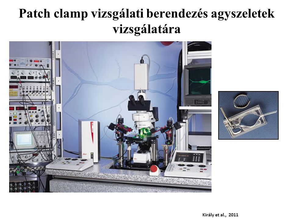 FáziskontrasztFluoreszcens Király et al., 2011