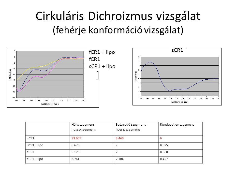 Cirkuláris Dichroizmus vizsgálat (fehérje konformáció vizsgálat) fCR1 + lipo fCR1 sCR1 + lipo sCR1 Hélix szegmens hossz/szegmens Beta redő szegmens hossz/szegmens Rendezetlen szegmens sCR123.6579.4690 sCR1 + lipó6.67620.325 fCR15.12620.368 fCR1 + lipó5.7612.1040.427