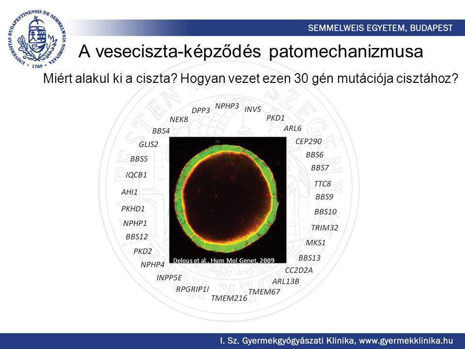 A veseciszta-képződés patomechanizmusa Miért alakul ki a ciszta? Hogyan vezet ezen 30 gén mutációja cisztához?
