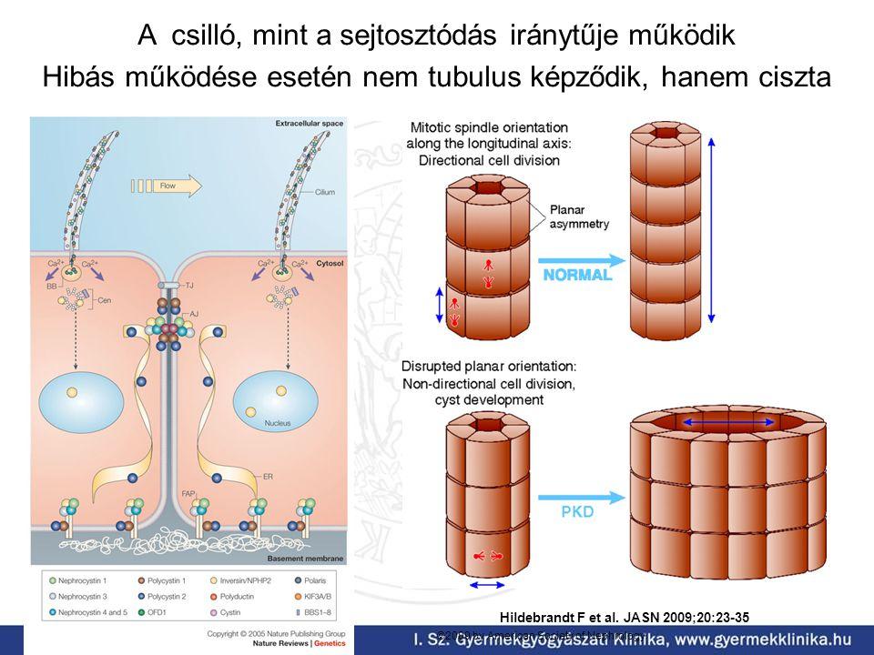A csilló, mint a sejtosztódás iránytűje működik Hibás működése esetén nem tubulus képződik, hanem ciszta Hildebrandt F et al. JASN 2009;20:23-35 ©2009