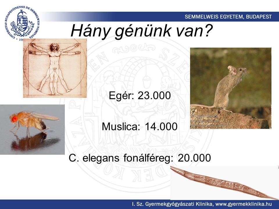 Hány génünk van? Egér: 23.000 Muslica: 14.000 C. elegans fonálféreg: 20.000