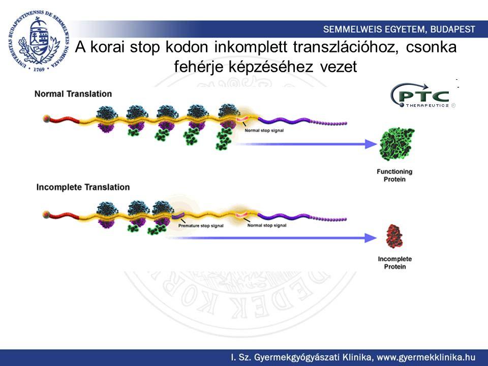 A korai stop kodon inkomplett transzlációhoz, csonka fehérje képzéséhez vezet