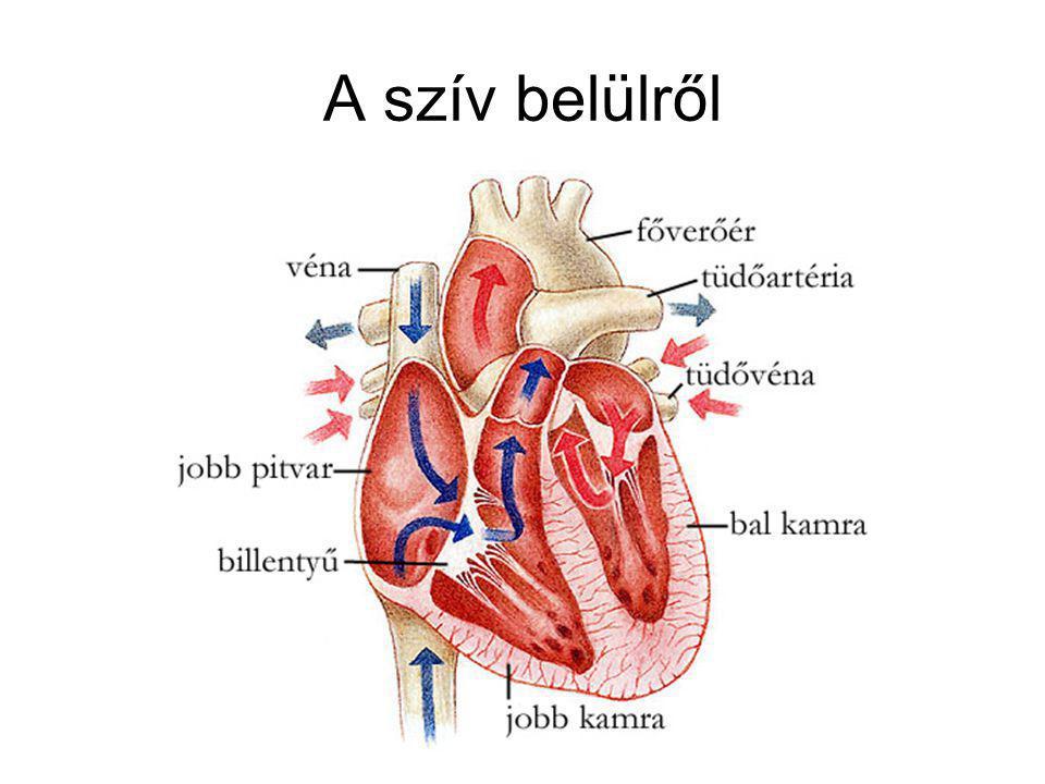 A vérkörök A pitvarok fala vékony- A kamrák közül a bal kamráé a vastagabb- A tüdőbe azért megy a vér, hogy