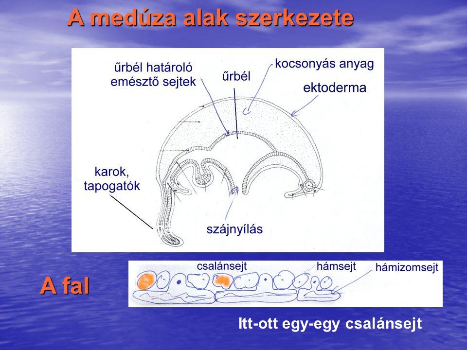 A medúza alak szerkezete A fal Itt-ott egy-egy csalánsejt