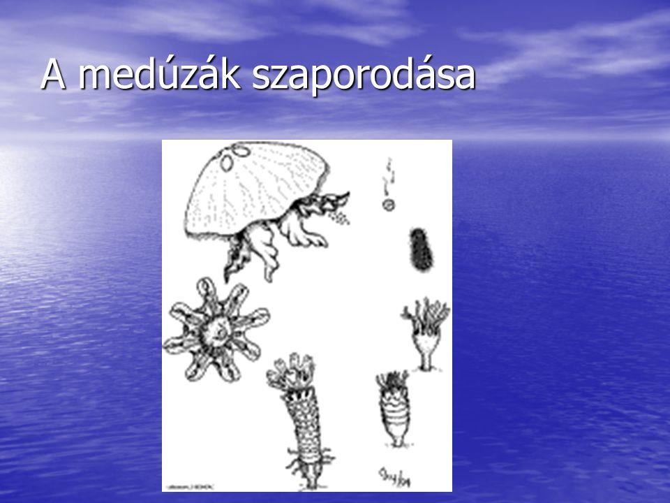 A medúzák szaporodása