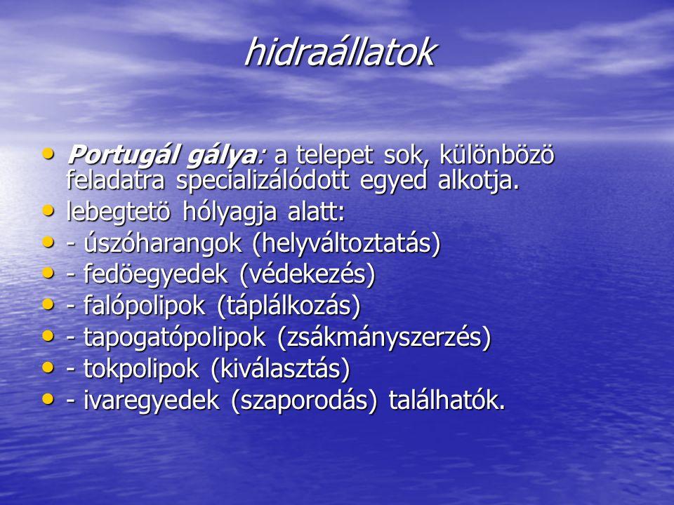 hidraállatok Portugál gálya: a telepet sok, különbözö feladatra specializálódott egyed alkotja. Portugál gálya: a telepet sok, különbözö feladatra spe