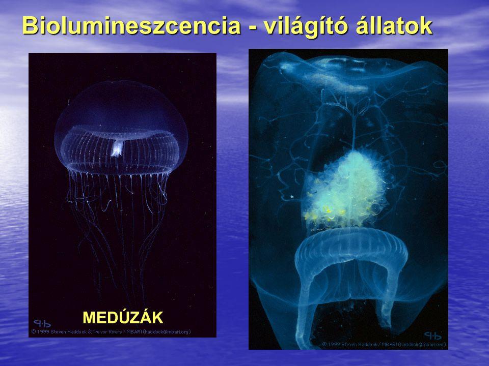Biolumineszcencia - világító állatok MEDÚZÁK