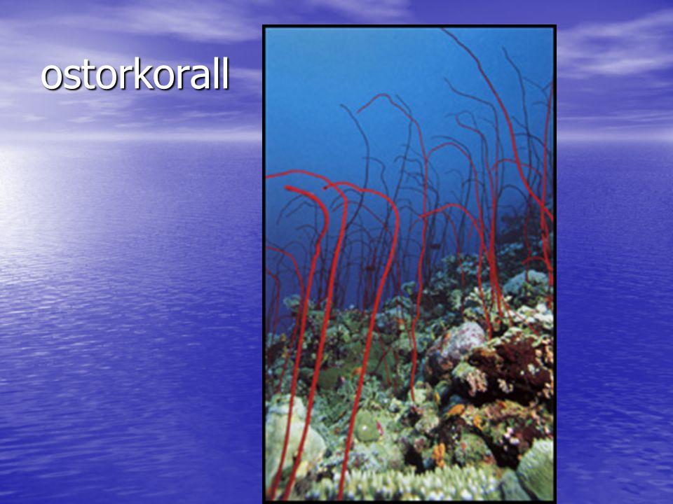 ostorkorall