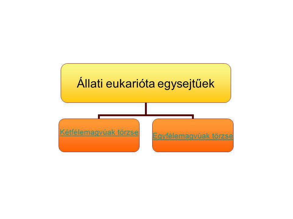 Állati eukarióta egysejtűek Kétfélemagvúak törzse Egyfélemagvúak törzse