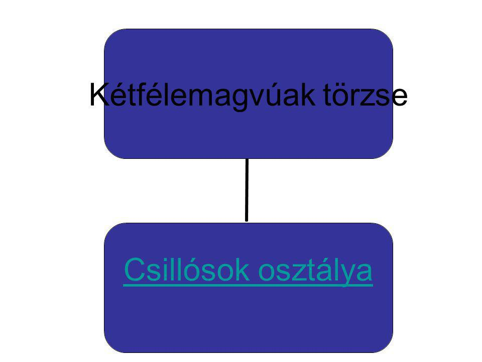 Csillósok osztálya Papucsállatka-Paramecium sp. Ormányos csillós kürtállatka