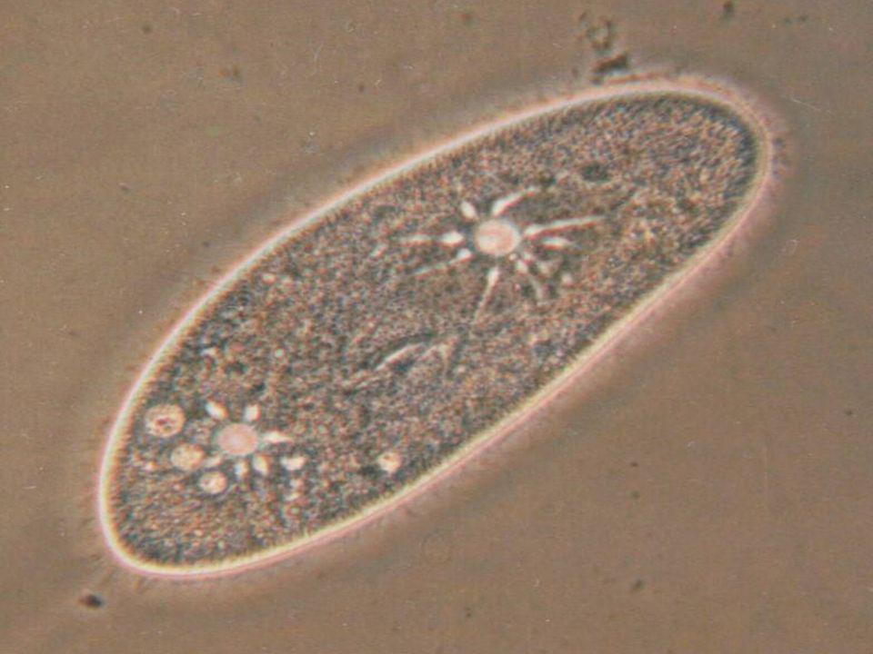 Paramecium Kültakarója Mozgása légzése Táplálkozása Keringése kiválasztása Szaporodása idegrendszere