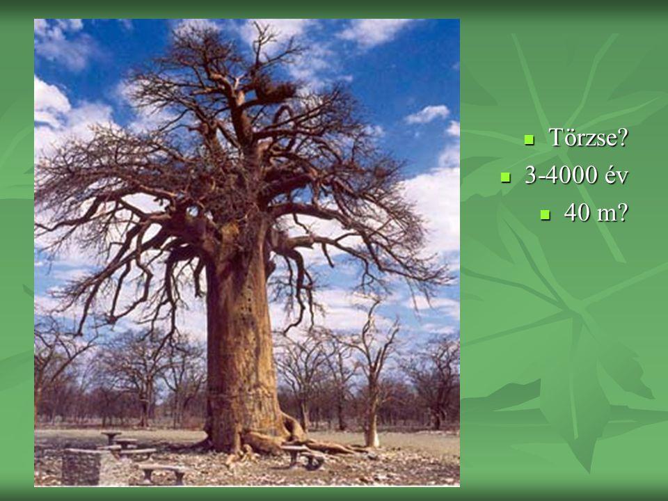 Törzse? Törzse? 3-4000 év 3-4000 év 40 m? 40 m?