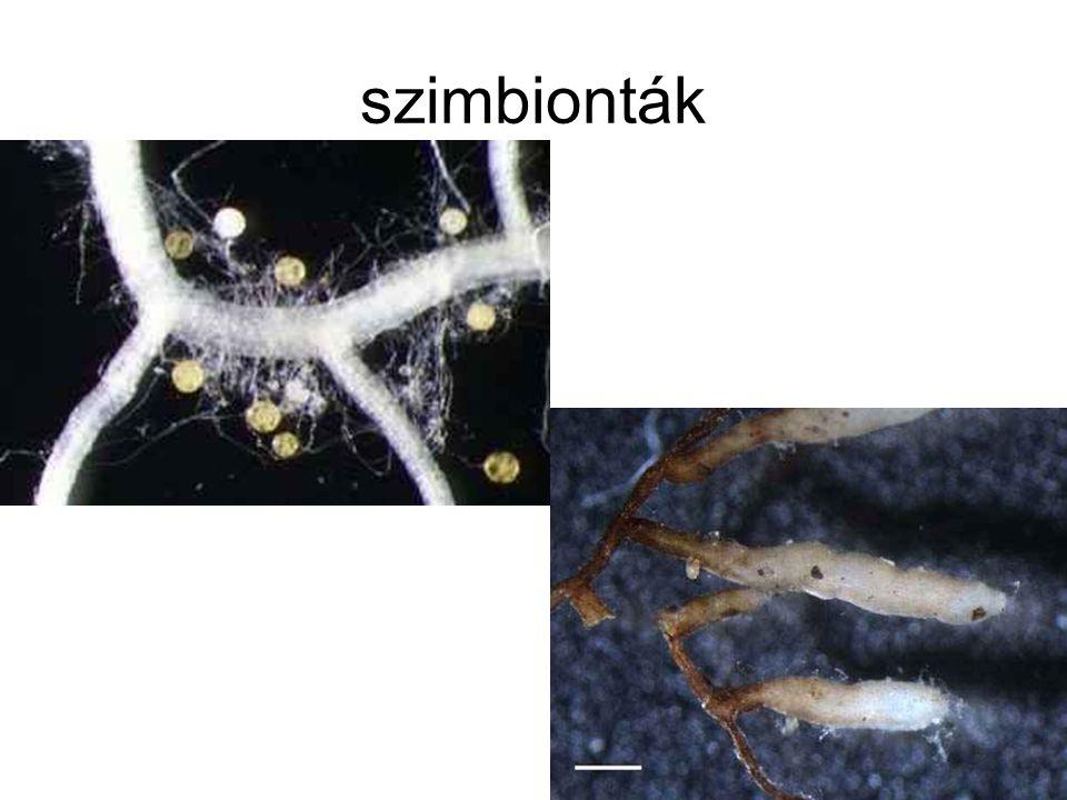 szimbionták