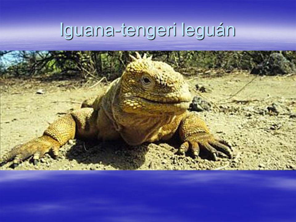 Iguana-tengeri leguán