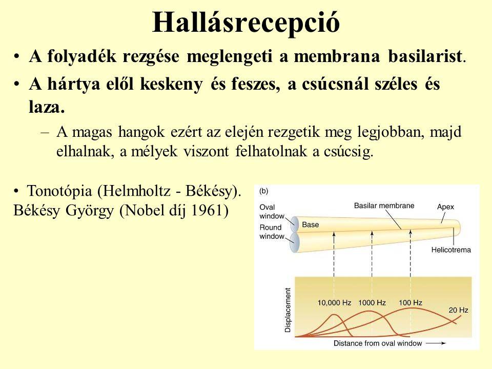 Hallásrecepció A folyadék rezgése meglengeti a membrana basilarist. A hártya elől keskeny és feszes, a csúcsnál széles és laza. –A magas hangok ezért