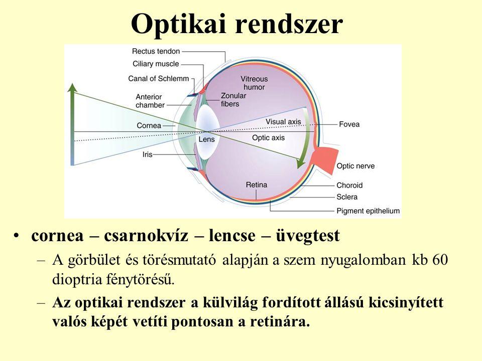 Optikai rendszer cornea – csarnokvíz – lencse – üvegtest –A görbület és törésmutató alapján a szem nyugalomban kb 60 dioptria fénytörésű. –Az optikai