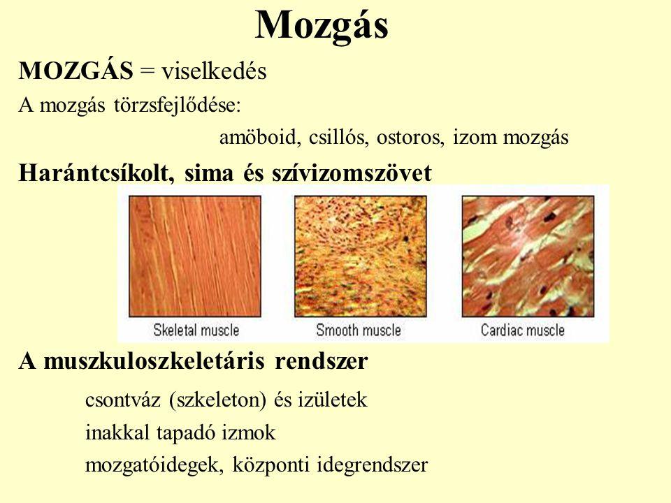 Mozgás MOZGÁS = viselkedés A mozgás törzsfejlődése: amöboid, csillós, ostoros, izom mozgás Harántcsíkolt, sima és szívizomszövet A muszkuloszkeletáris