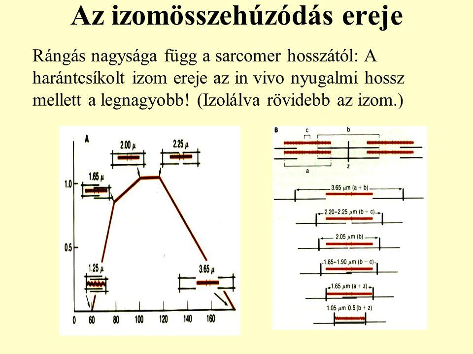 Az izomösszehúzódás ereje Rángás nagysága függ a sarcomer hosszától: A harántcsíkolt izom ereje az in vivo nyugalmi hossz mellett a legnagyobb! (Izolá