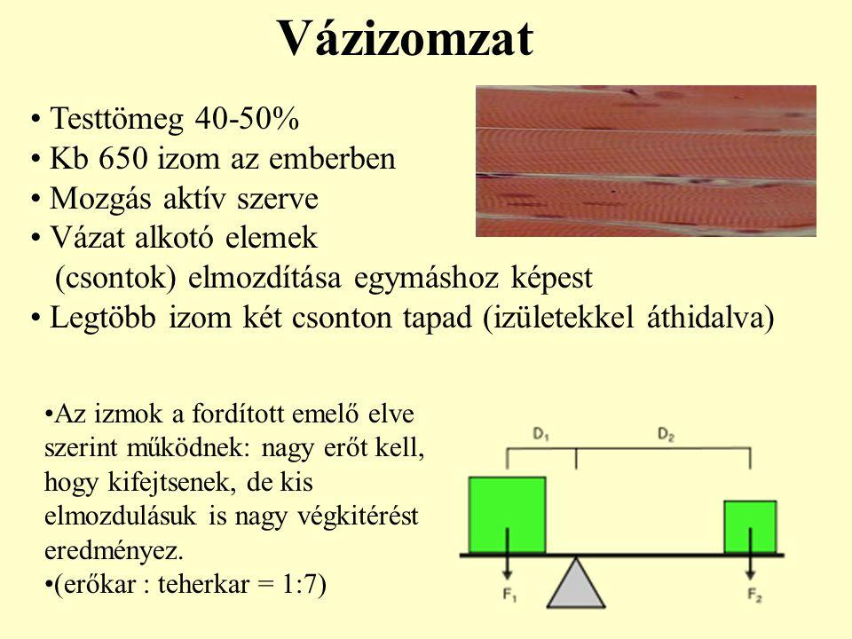 Vázizomzat Testtömeg 40-50% Kb 650 izom az emberben Mozgás aktív szerve Vázat alkotó elemek (csontok) elmozdítása egymáshoz képest Legtöbb izom két cs