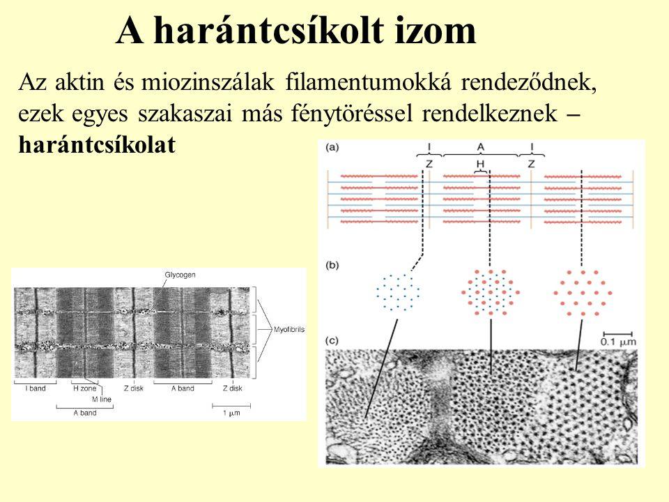 Az aktin és miozinszálak filamentumokká rendeződnek, ezek egyes szakaszai más fénytöréssel rendelkeznek – harántcsíkolat