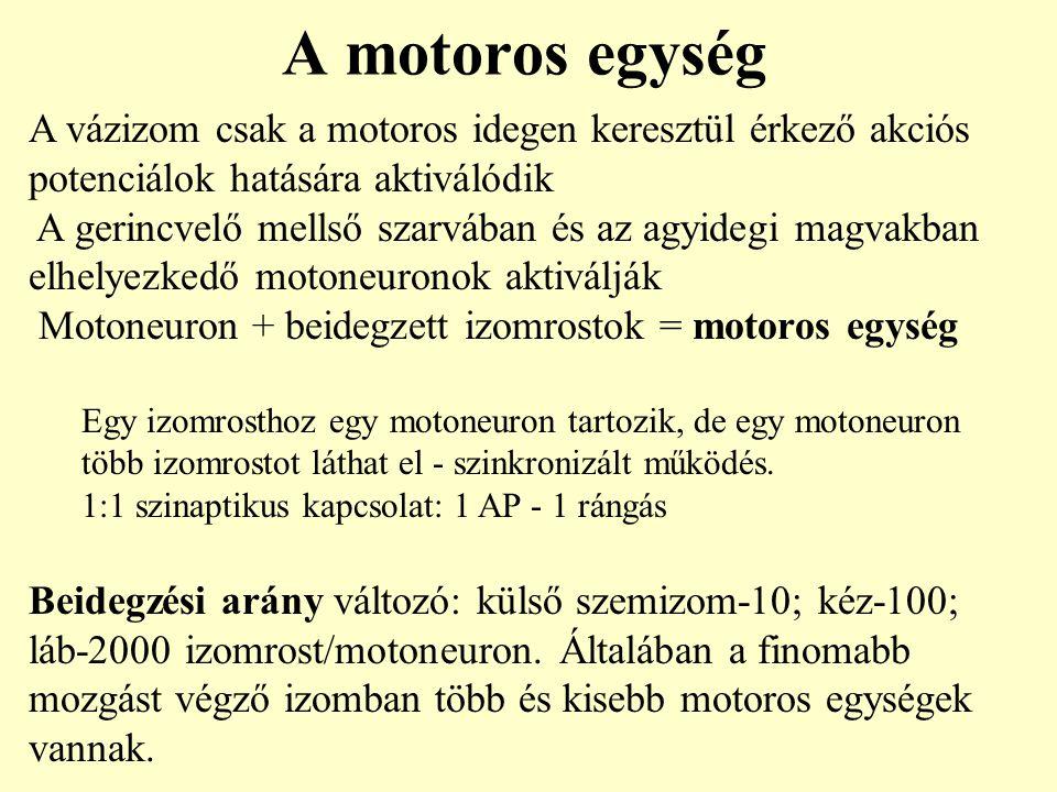 A motoros egység A vázizom csak a motoros idegen keresztül érkező akciós potenciálok hatására aktiválódik A gerincvelő mellső szarvában és az agyidegi