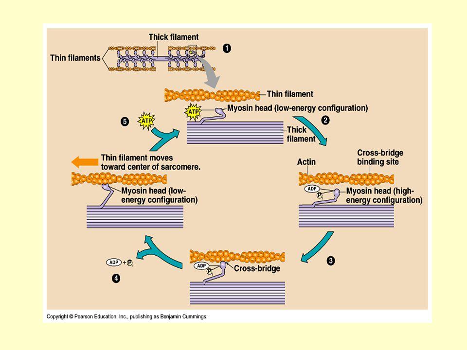 Izomrángás Kontrakciós idő: az inger kezdetétől a maximális összehúzódásig Elernyedési idő: a maximumtól a maximum feléig Latencia: az ingerület végigfut az axonon + az ideg-izom áttevődés szinaptikus késése + az akcióspotenciál végigfut az izomrost felületén.