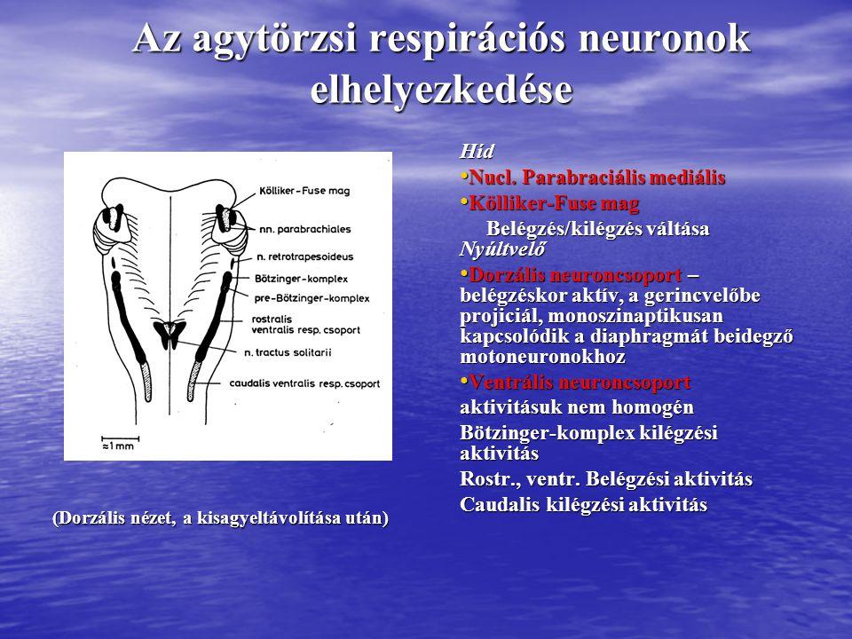 Az agytörzs különböző szintű átmetszéseinek hatása DLN: légzési neuronok dorzális csoportja VLN: Légzési neuronok ventrális csoportja NPBL: nucleus parabrachiális PC: pedunculus cerebellaris medius CI: colliculus inferior APK: apneusiás központ