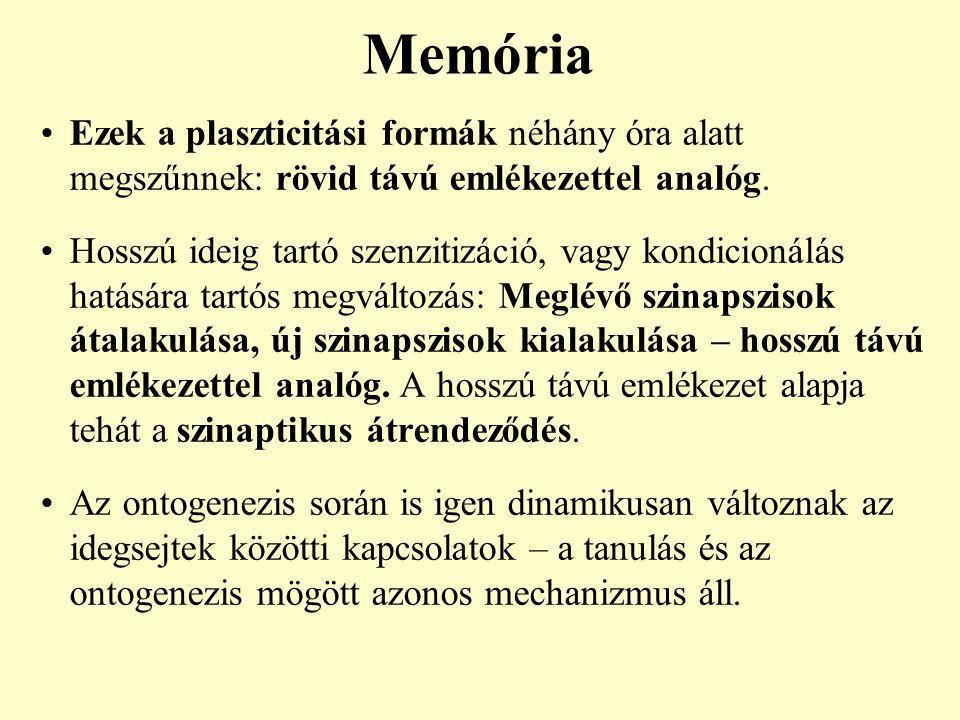 Memória Ezek a plaszticitási formák néhány óra alatt megszűnnek: rövid távú emlékezettel analóg. Hosszú ideig tartó szenzitizáció, vagy kondicionálás