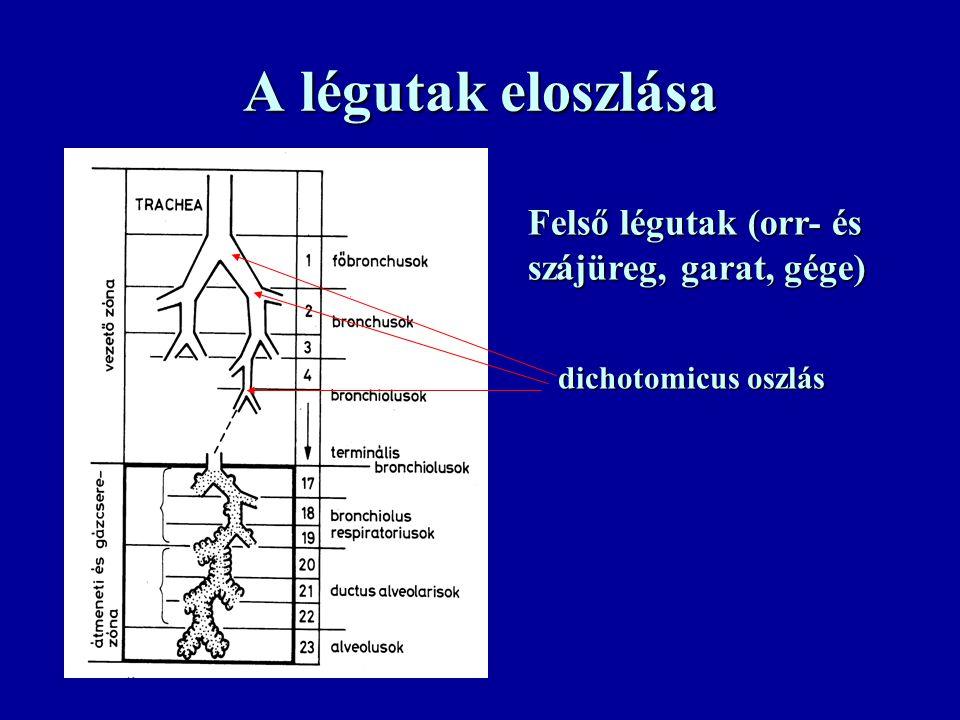 A légutak eloszlása Felső légutak (orr- és szájüreg, garat, gége) dichotomicus oszlás
