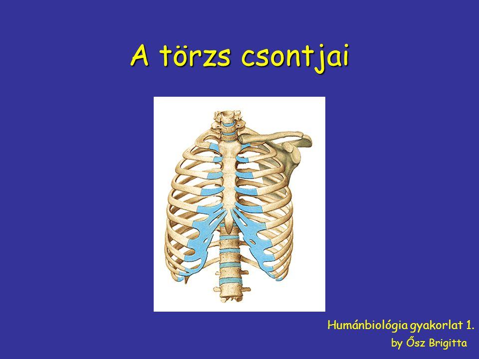 A törzs csontjai Humánbiológia gyakorlat 1. by Ősz Brigitta