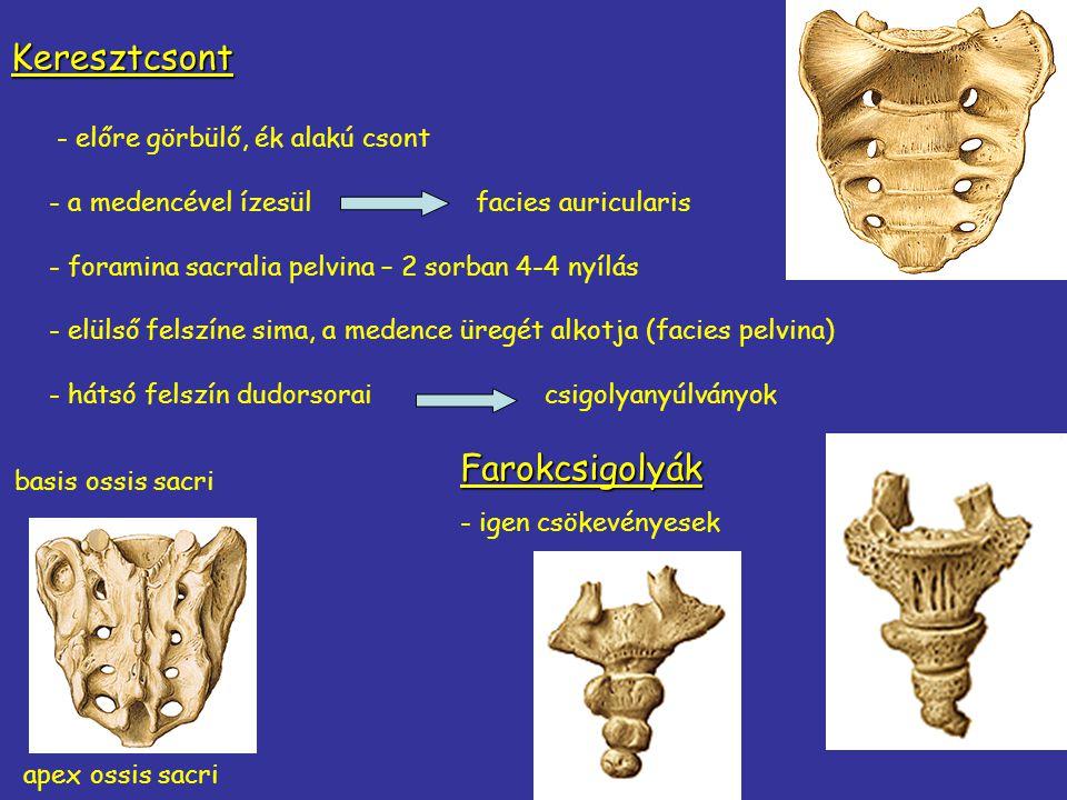 - előre görbülő, ék alakú csont - a medencével ízesülfacies auricularis - foramina sacralia pelvina – 2 sorban 4-4 nyílás - elülső felszíne sima, a me