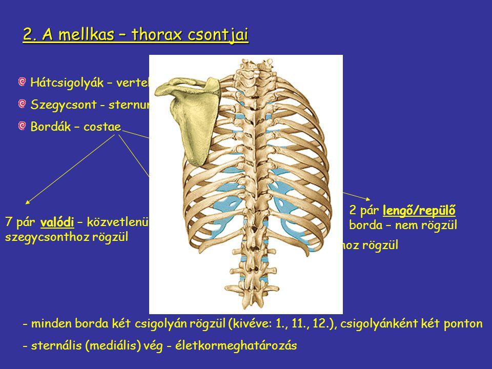 2. A mellkas – thorax csontjai Hátcsigolyák – vertebrae thoracales (12) Szegycsont - sternum Bordák – costae 3 pár álborda – valódi bordához rögzül 7