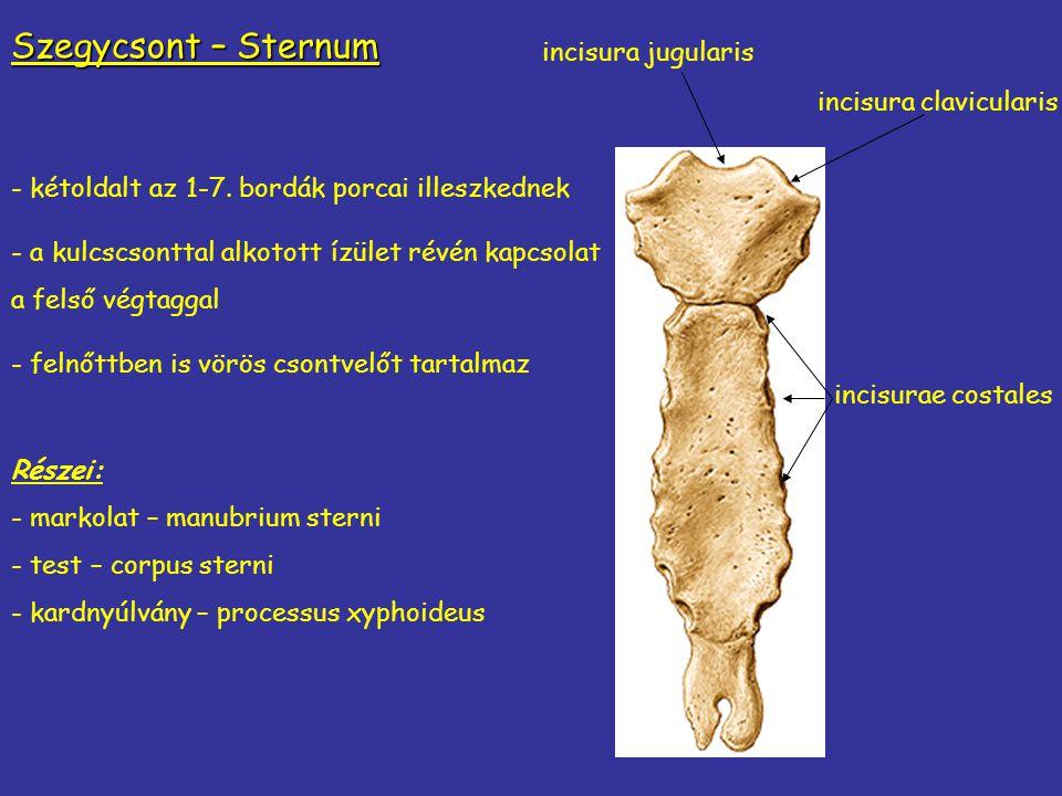 Szegycsont – Sternum incisura jugularis - kétoldalt az 1-7. bordák porcai illeszkednek - a kulcscsonttal alkotott ízület révén kapcsolat a felső végta
