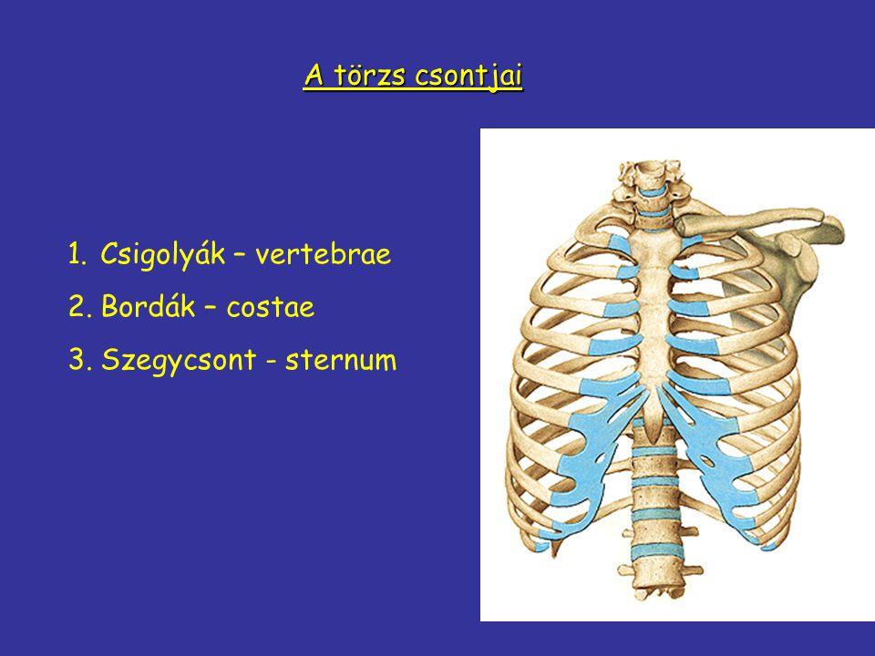 A törzs csontjai 1.Csigolyák – vertebrae 2.Bordák – costae 3.Szegycsont - sternum