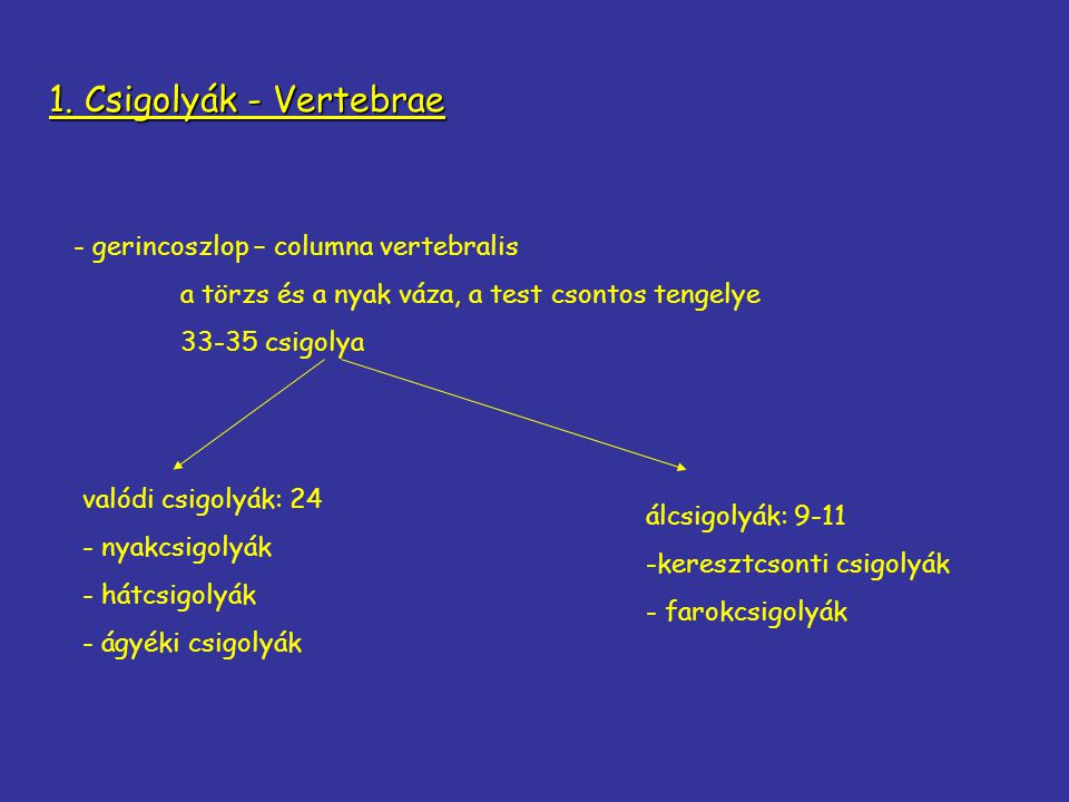 1. Csigolyák - Vertebrae - gerincoszlop – columna vertebralis a törzs és a nyak váza, a test csontos tengelye 33-35 csigolya valódi csigolyák: 24 - ny