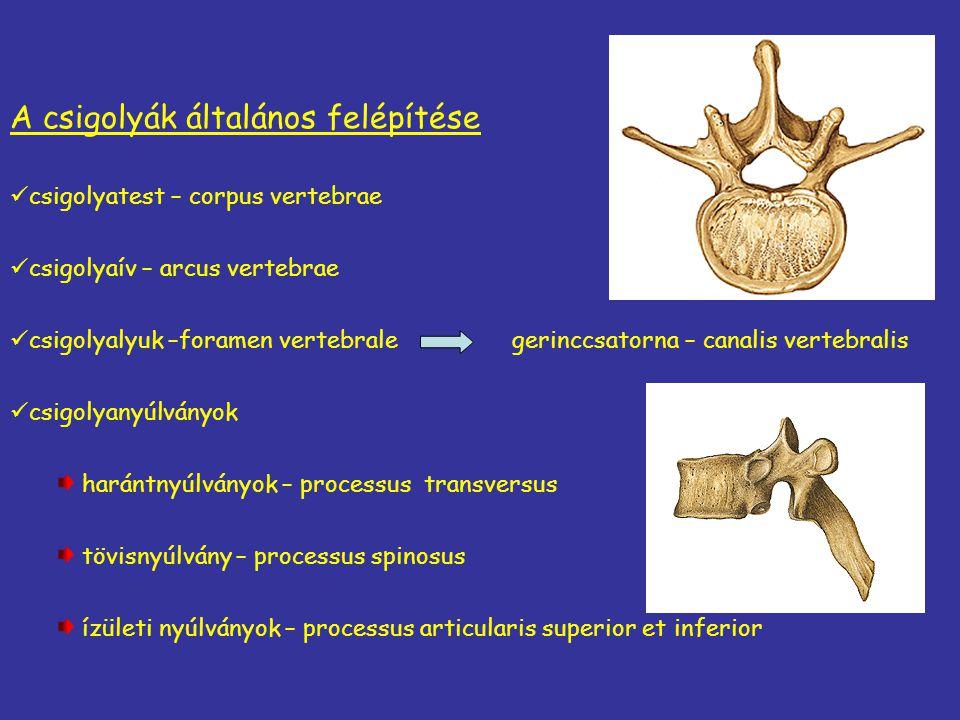A csigolyák általános felépítése csigolyatest – corpus vertebrae csigolyaív – arcus vertebrae csigolyalyuk –foramen vertebrale gerinccsatorna – canali