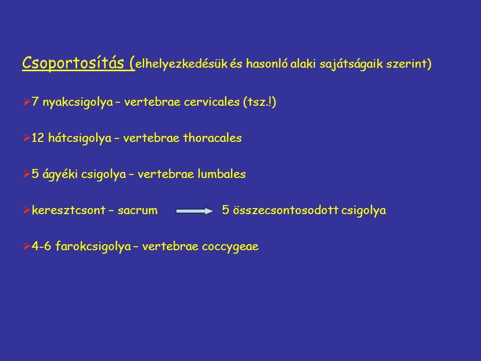 Csoportosítás ( elhelyezkedésük és hasonló alaki sajátságaik szerint)  7 nyakcsigolya – vertebrae cervicales (tsz.!)  12 hátcsigolya – vertebrae tho