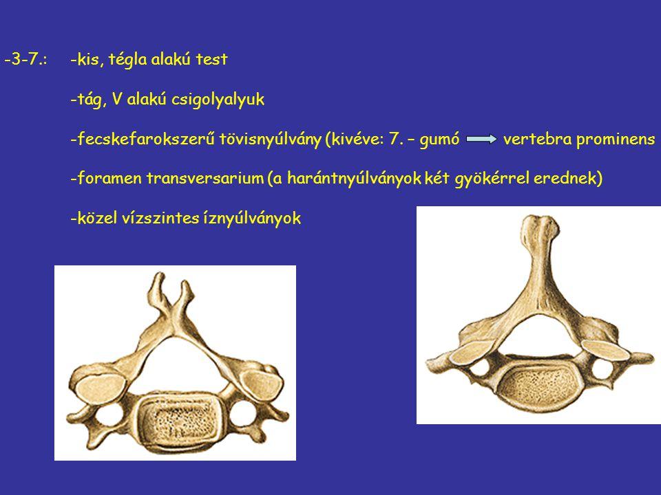 -3-7.:-kis, tégla alakú test -tág, V alakú csigolyalyuk -fecskefarokszerű tövisnyúlvány (kivéve: 7. – gumó vertebra prominens -foramen transversarium