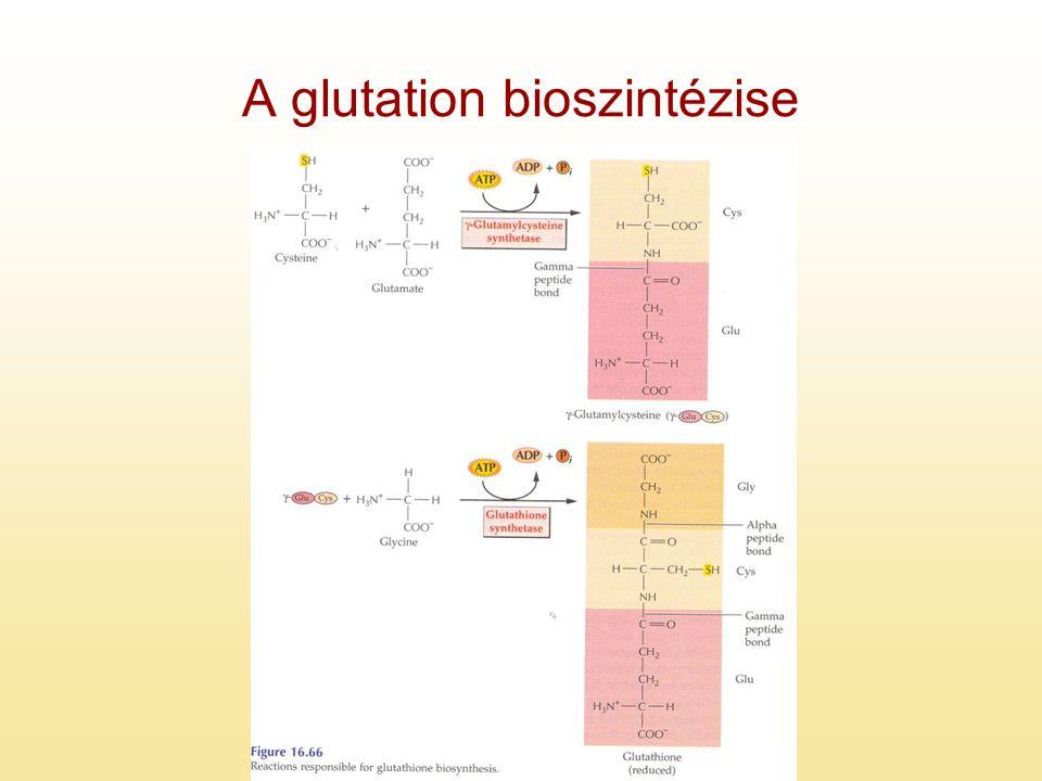 A glutation bioszintézise