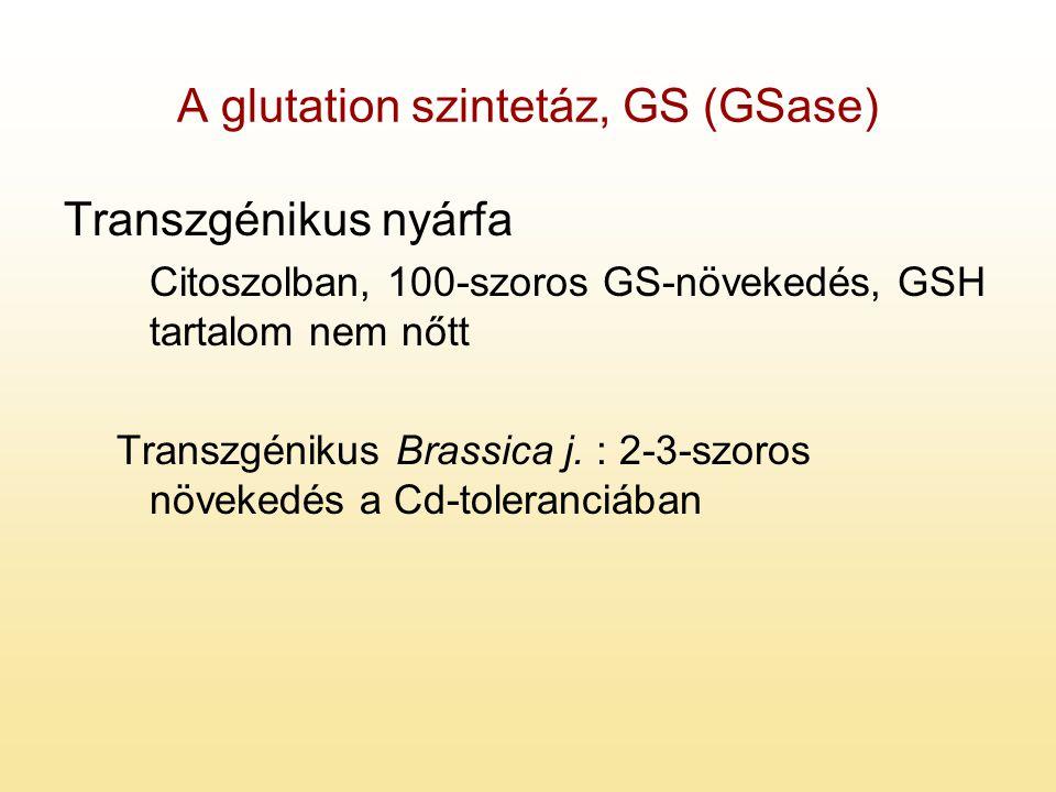 A glutation szintetáz, GS (GSase) Transzgénikus nyárfa Citoszolban, 100-szoros GS-növekedés, GSH tartalom nem nőtt Transzgénikus Brassica j. : 2-3-szo