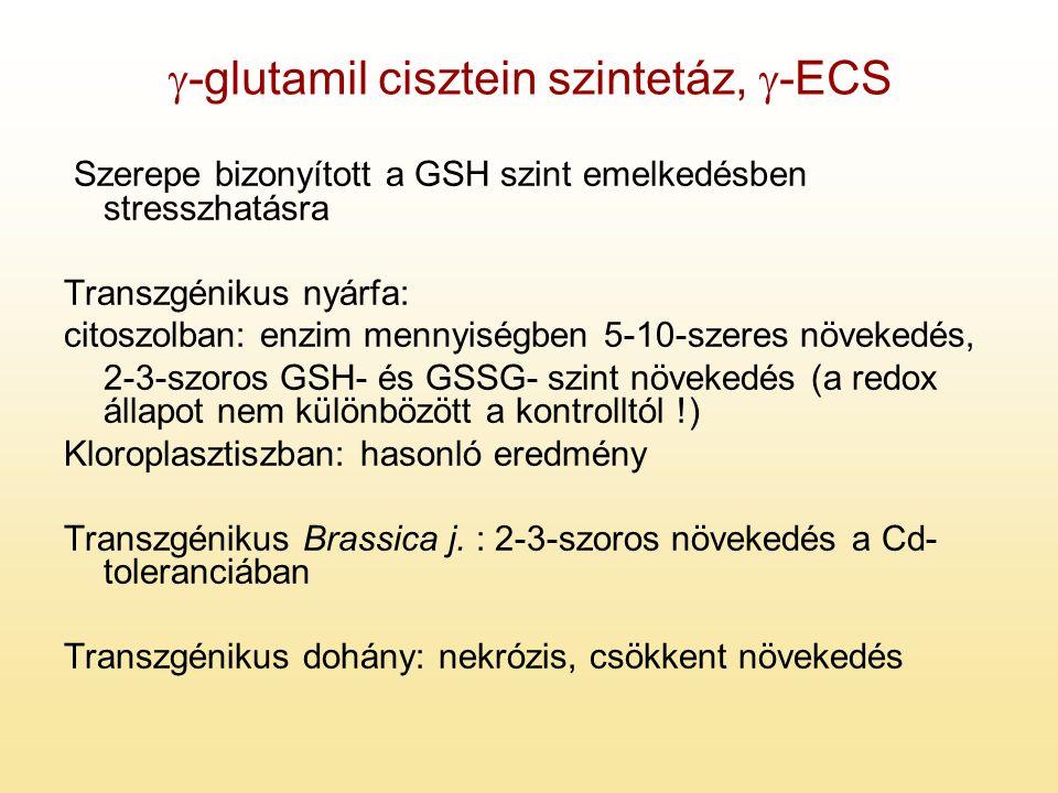  -glutamil cisztein szintetáz,  -ECS Szerepe bizonyított a GSH szint emelkedésben stresszhatásra Transzgénikus nyárfa: citoszolban: enzim mennyiségb