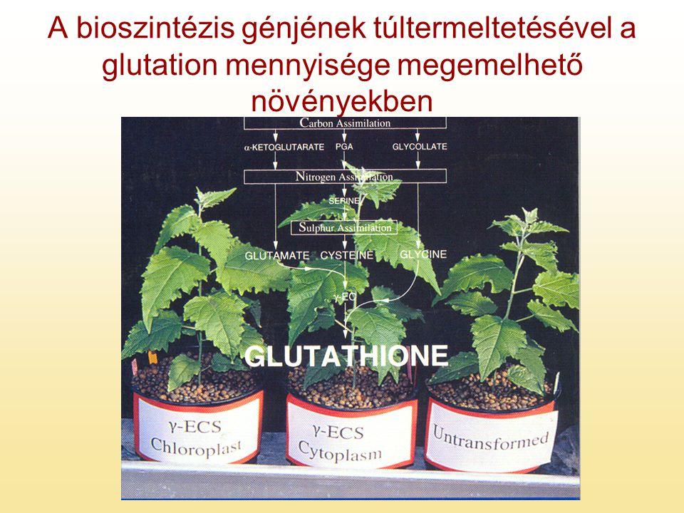 A bioszintézis génjének túltermeltetésével a glutation mennyisége megemelhető növényekben