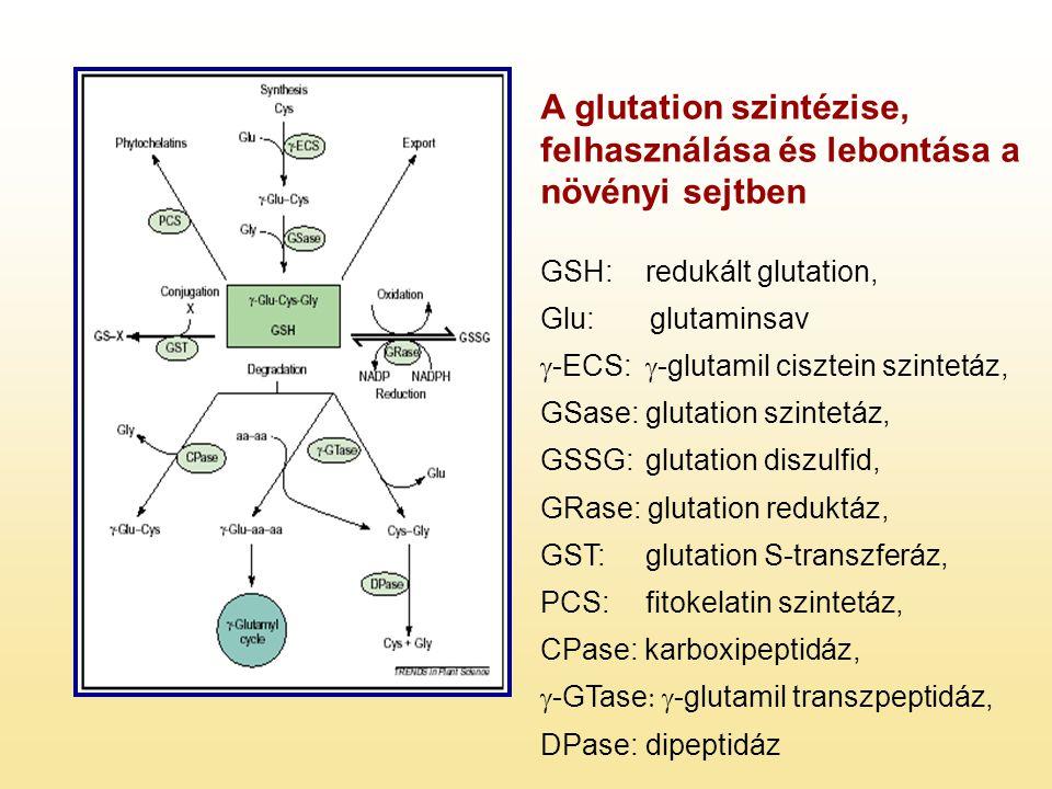 A glutation szintézise, felhasználása és lebontása a növényi sejtben GSH: redukált glutation, Glu: glutaminsav  -ECS:  -glutamil cisztein szintetáz