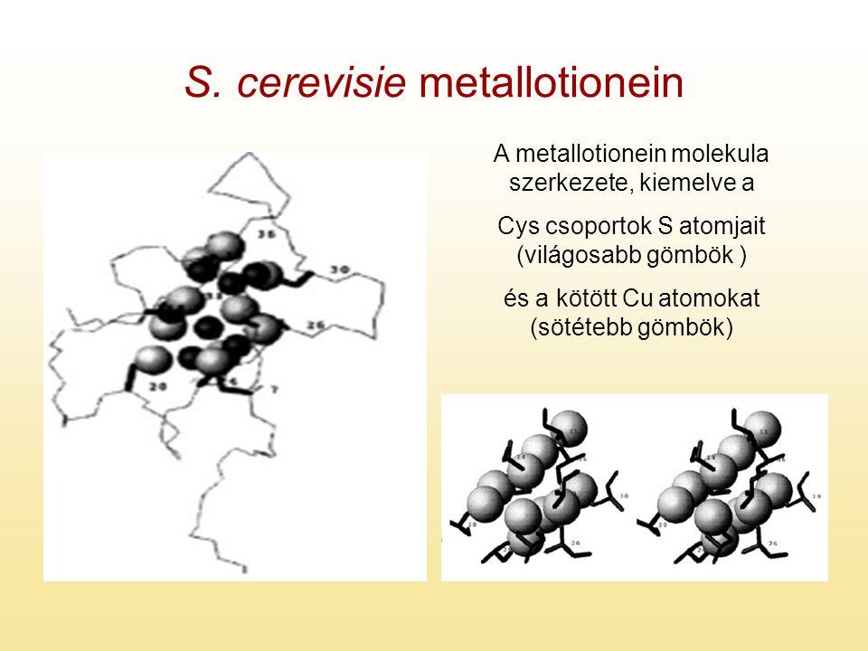 S. cerevisie metallotionein A metallotionein molekula szerkezete, kiemelve a Cys csoportok S atomjait (világosabb gömbök ) és a kötött Cu atomokat (sö