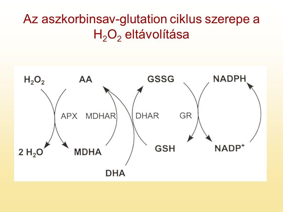 Az aszkorbinsav-glutation ciklus szerepe a H 2 O 2 eltávolítása