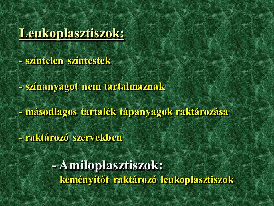 Leukoplasztiszok: - színtelen színtestek - színanyagot nem tartalmaznak - másodlagos tartalék tápanyagok raktározása - raktározó szervekben - Amiloplasztiszok: keményítőt raktározó leukoplasztiszok keményítőt raktározó leukoplasztiszok Leukoplasztiszok: - színtelen színtestek - színanyagot nem tartalmaznak - másodlagos tartalék tápanyagok raktározása - raktározó szervekben - Amiloplasztiszok: keményítőt raktározó leukoplasztiszok keményítőt raktározó leukoplasztiszok