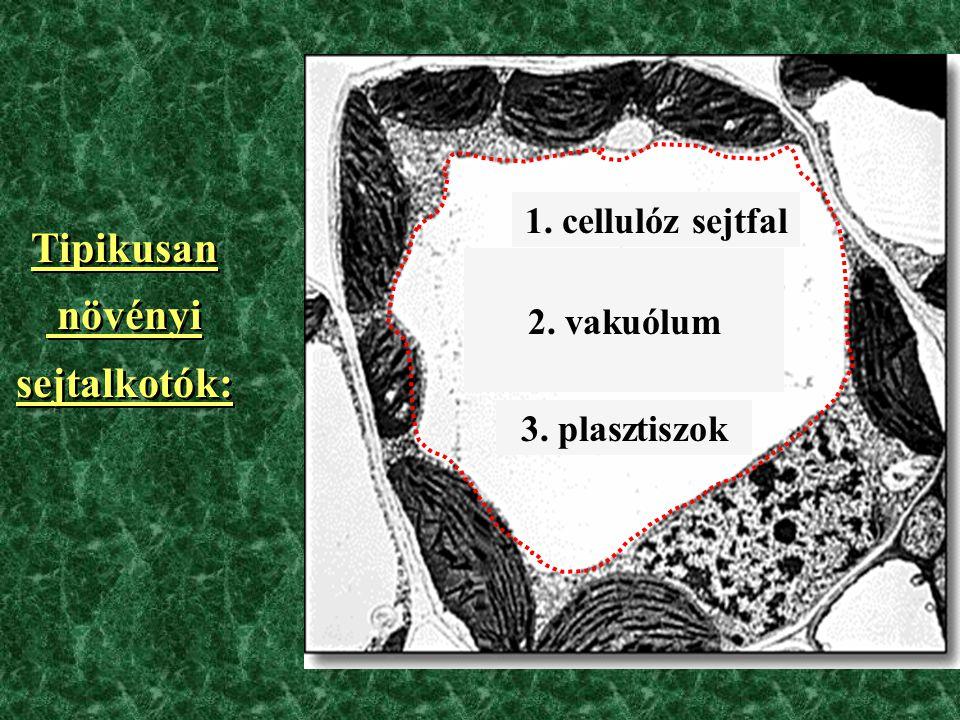 2.vakuólum 3. plasztiszok 1.