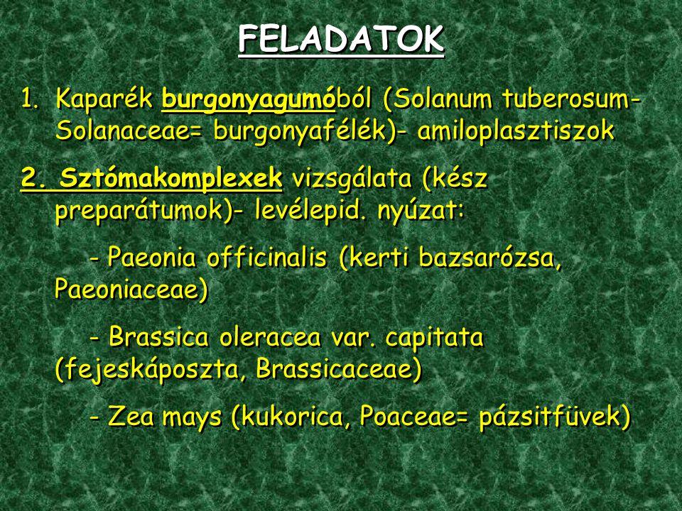 FELADATOK 1.Kaparék burgonyagumóból (Solanum tuberosum- Solanaceae= burgonyafélék)- amiloplasztiszok 2.